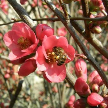 Cognassier du japon et abeille - Rosaceae