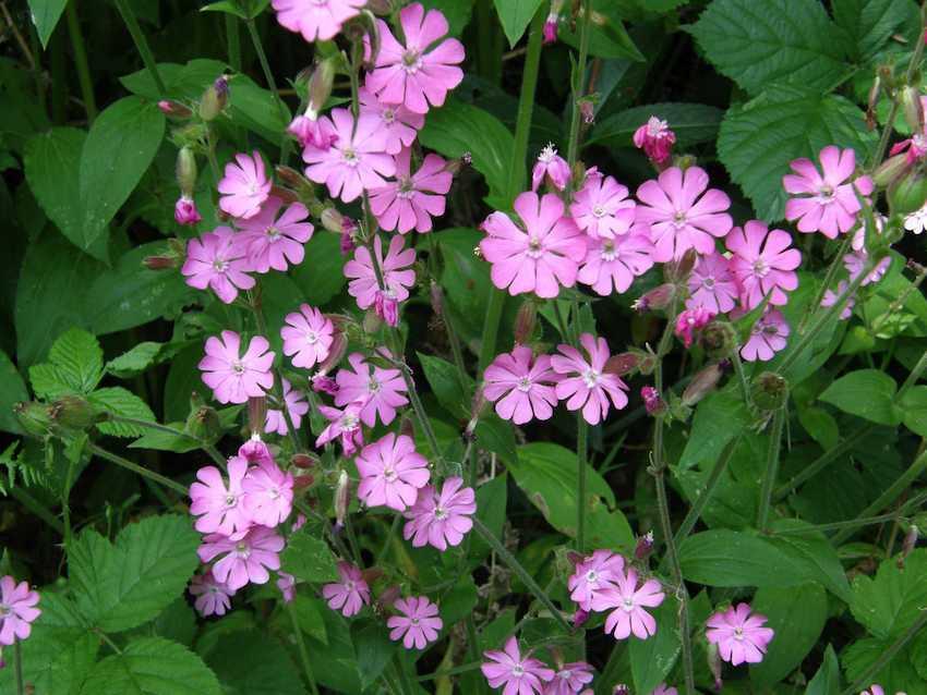 Compagnon rose - Silene dioica
