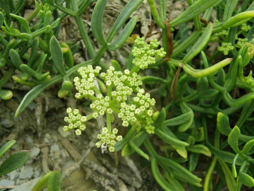 Criste marine - Crithmum maritimum - Apiaceae