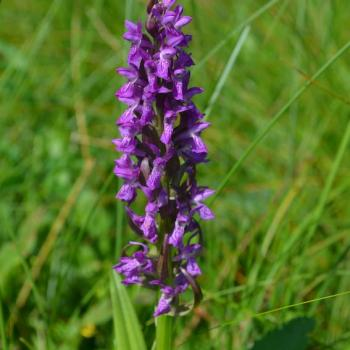 Dactylorhiza incarnata - Orchis couleur chair