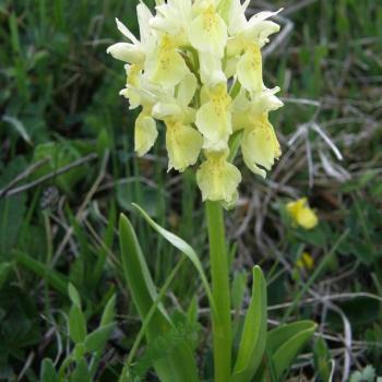Dactylorhiza sambucina jaune - Orchis sureau