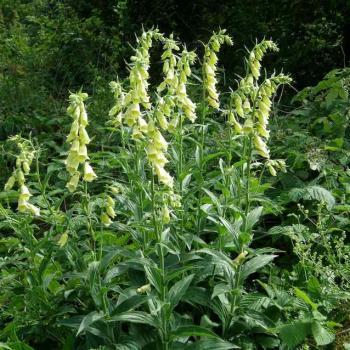 Digitale à grandes fleurs - Digitalis grandiflora - Scrophulariaceae