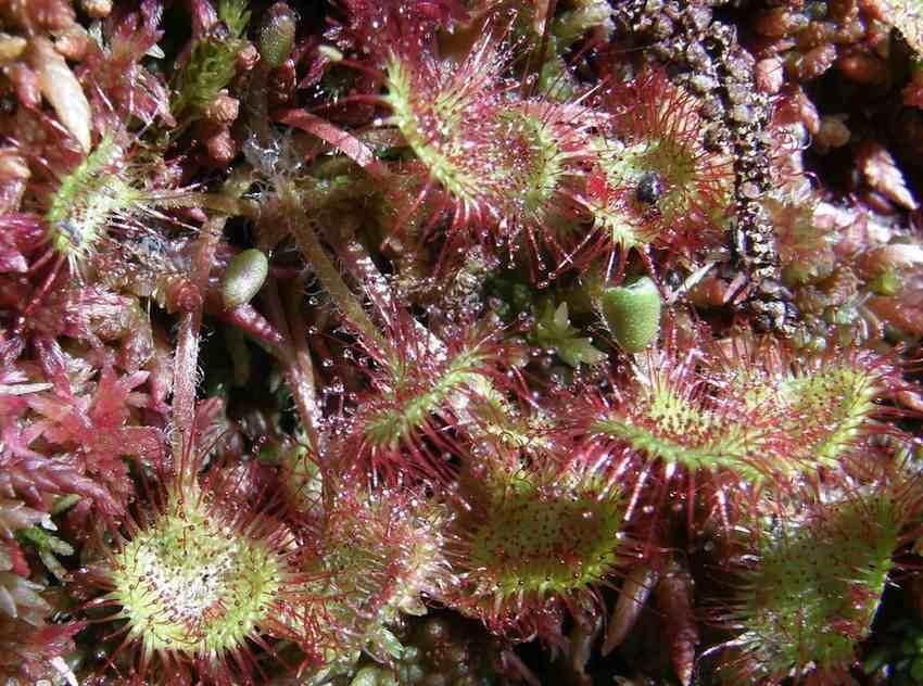 Drosera à feuilles rondes - Drosera rotundifolia