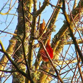 Ecureuil roux - Sciurus vulgaris 1