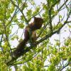 Ecureuil roux - Sciurus vulgaris 2