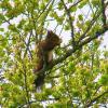 Ecureuil roux - Sciurus vulgaris 3