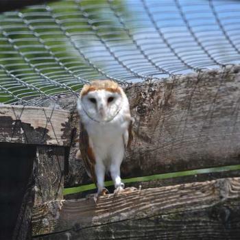 Effarie des clochers - Tyto alba