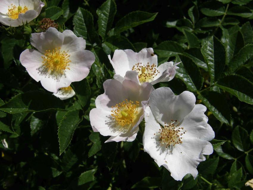 Eglantier 1 - Rosa canina
