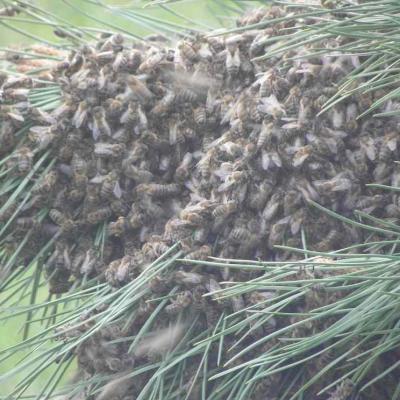 Essaim abeilles 2