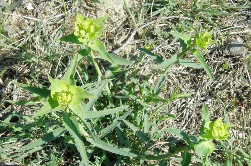 Euphorbe dentée - Euphorbia serrata - Euphorbiaceae