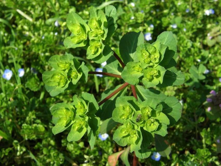 Euphorbe réveille-matin - Euphorbia helioscopa
