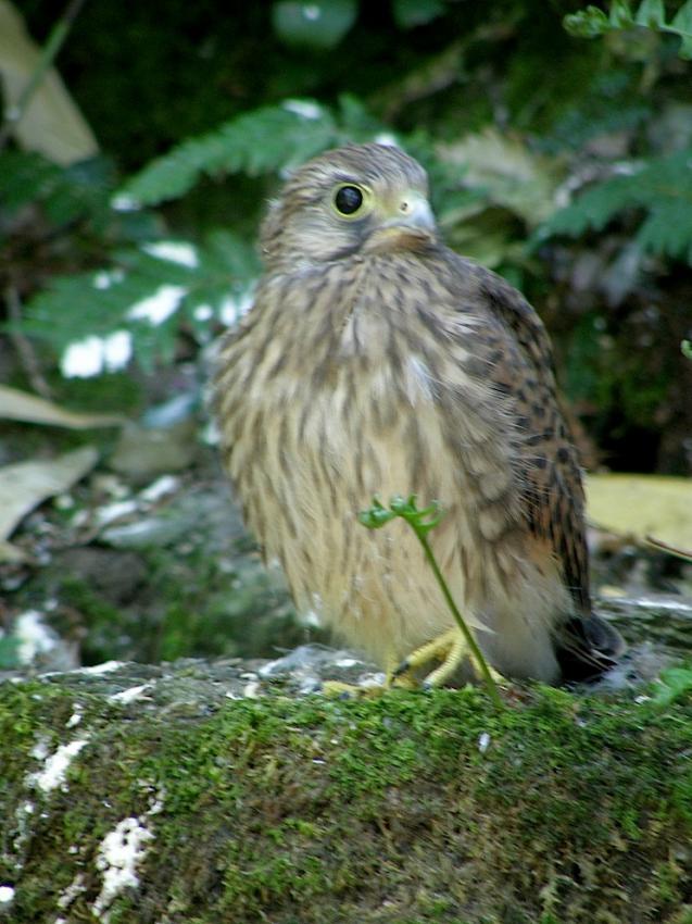 Faucon crecerelle 2