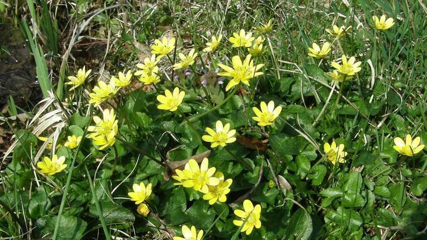 Ficaire en touffe - Ranunculus ficaria
