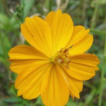 Fleur de jachère