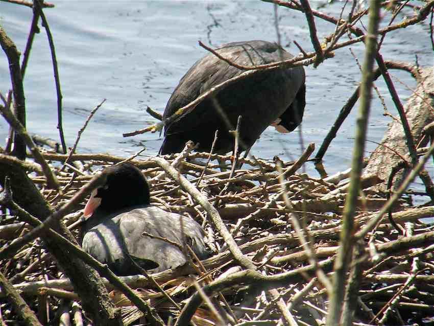 Foulque au nid 2