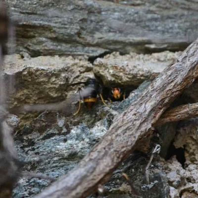 Frelon asiatique - Nid dans un mur
