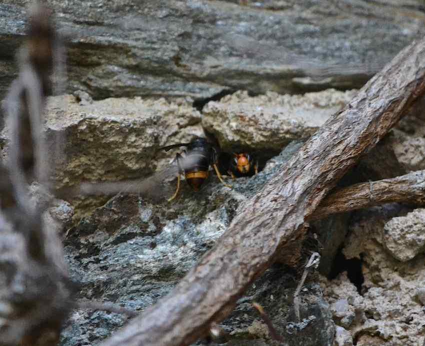frelon asiatique nid dans un mur. Black Bedroom Furniture Sets. Home Design Ideas