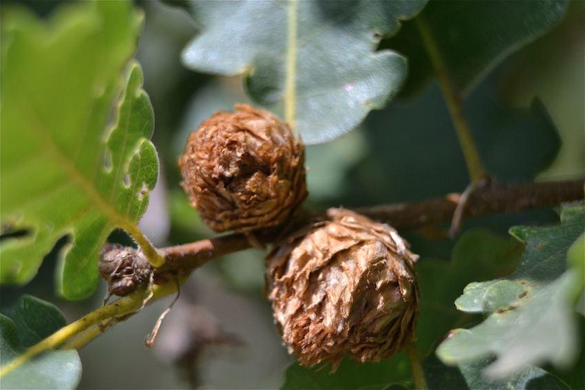 Galle en artichaud du chêne provoquée par Andricus fecundator
