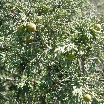 Genévrier de Phénicie - Juniperus phoenicea - Cupressaceae