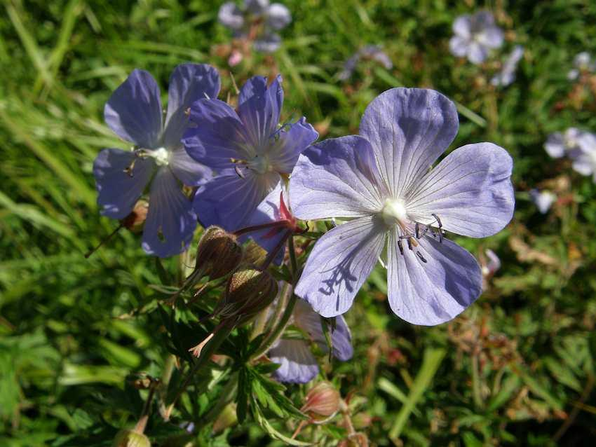 Géranium des prés - Geranium pratense - Geraniaceae