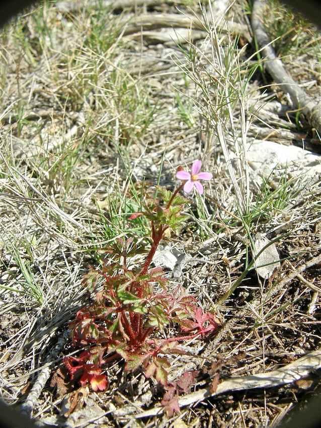 Géranium pourpre (robertianum subsp robertianum) - Geraniaceae