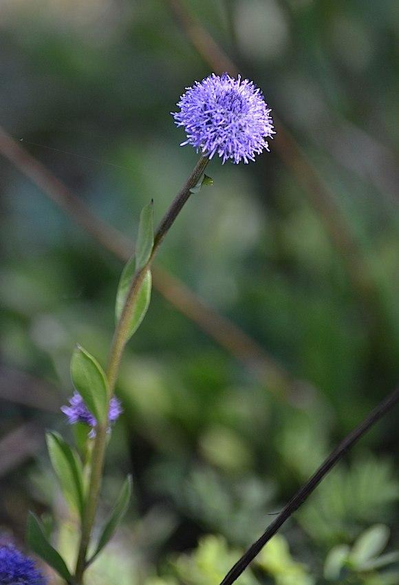 Globulaire commune - Globularia vulgaris 2