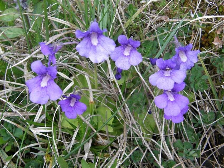 Grassette commune - Pinguicula vulgaris - Lentibulariaceae