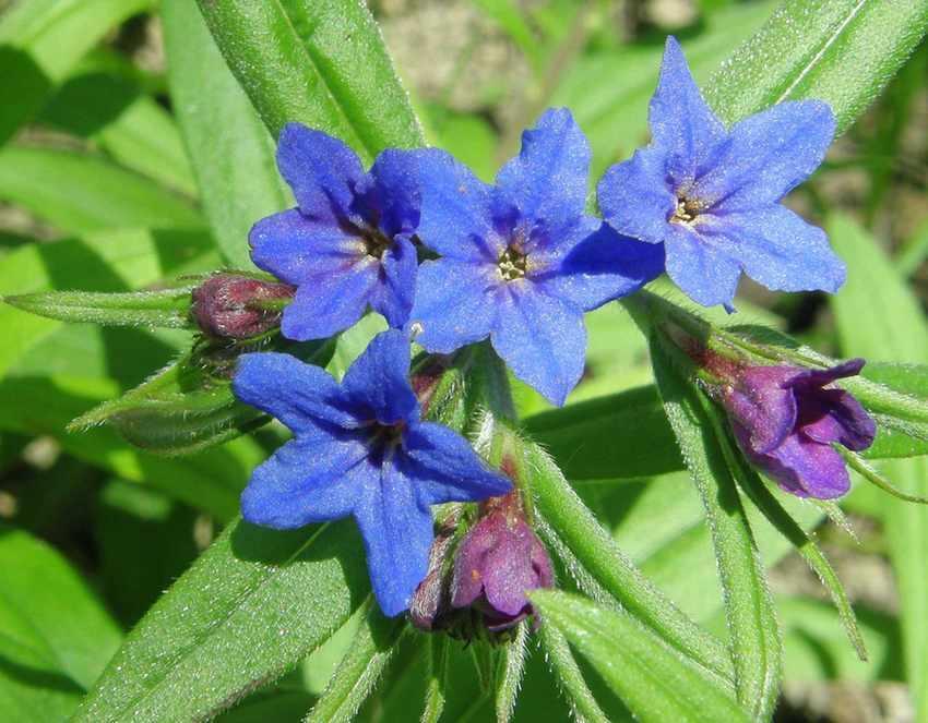 Grémil bleu - Buglossoides purpurocaerulea