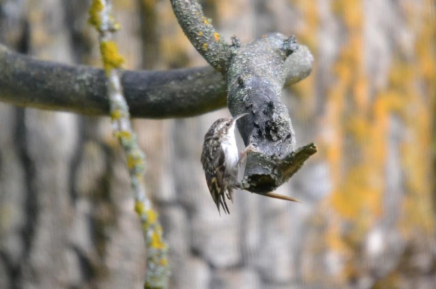 Grimpereau des jardins 2