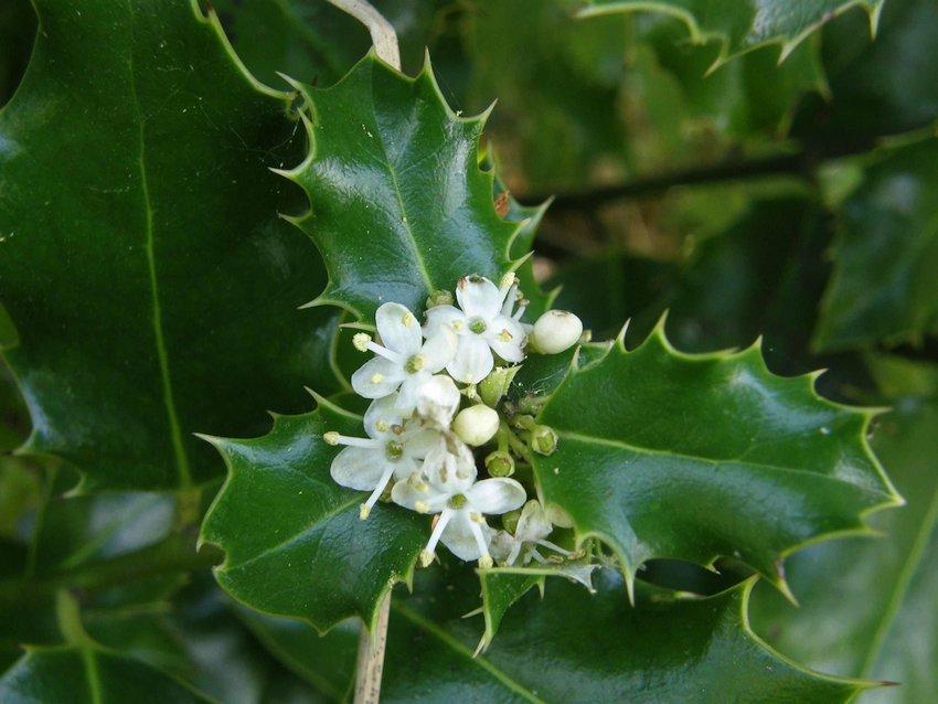 Houx - Hilex aquifolium