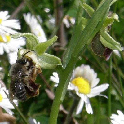 Hyménoptère sur Ophrys aranifera