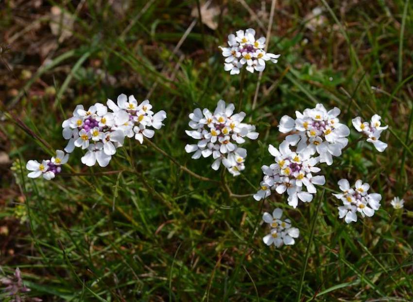Ibéris penné - Iberis pinnata - Brassicaceae