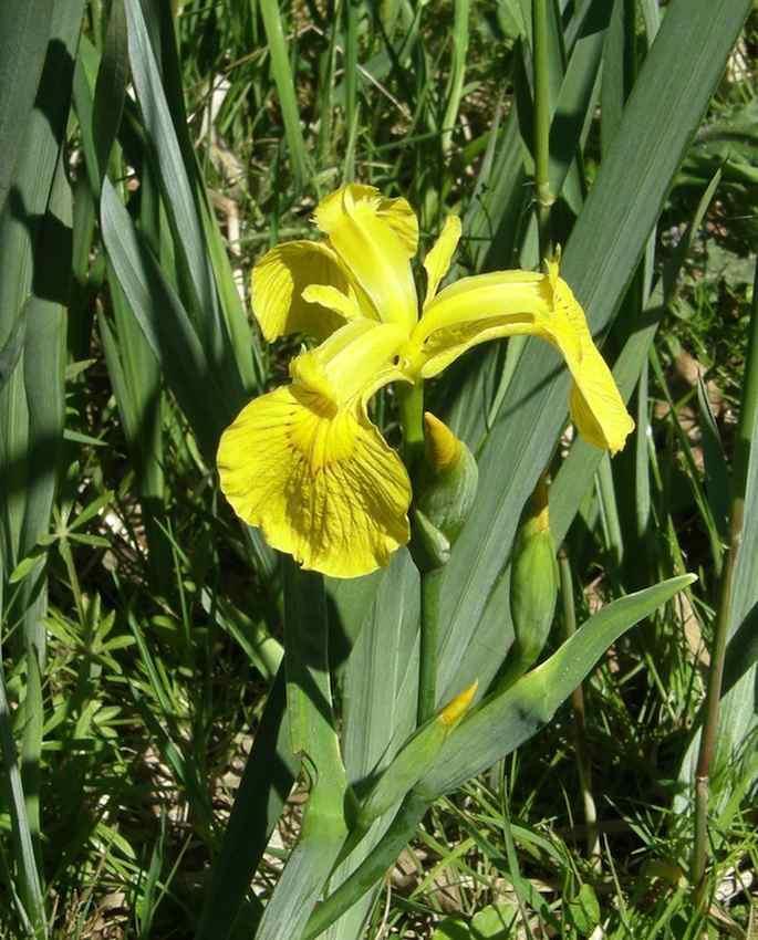 Iris des marais - Iris pseudocarus