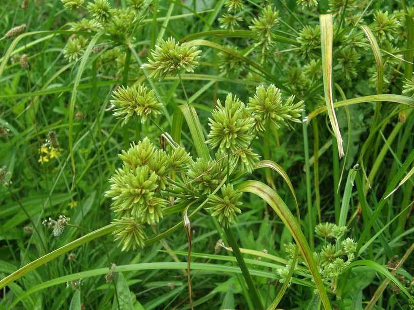 Souchet robuste - Cyperus eragrostis