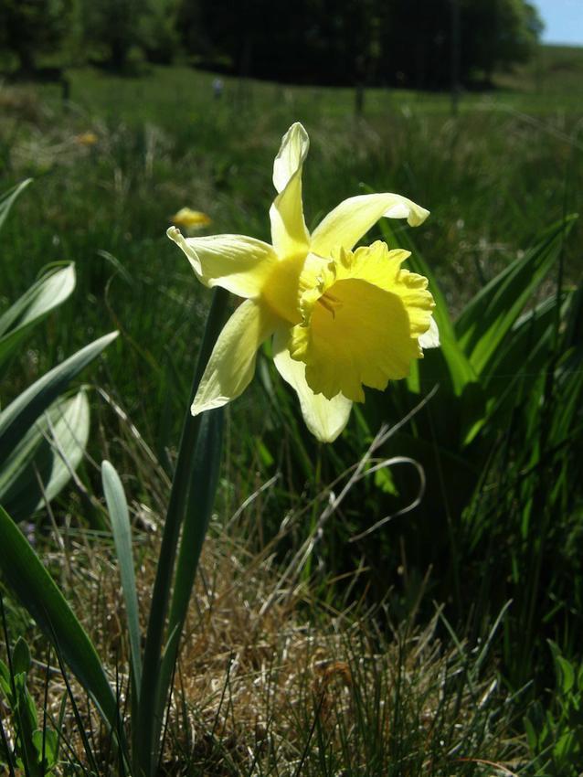 Jonquille - Narcissus pseudonarcissus