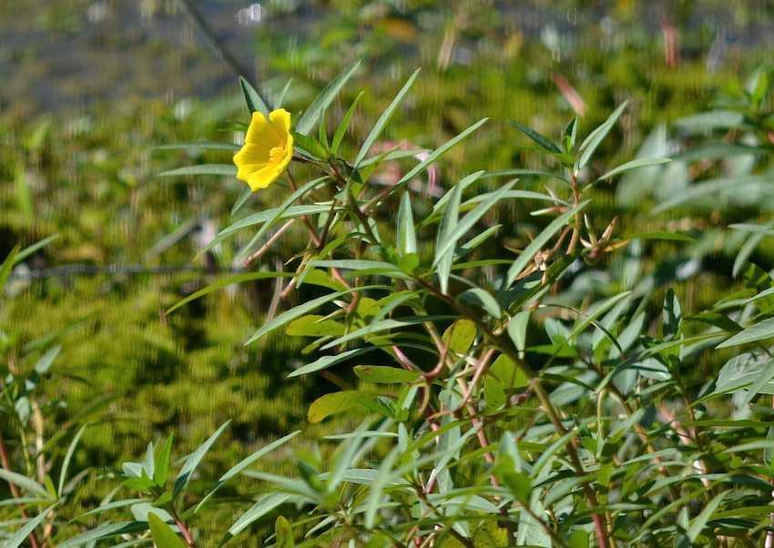 Jussie rampante - Ludwigia peploides (Cambounet)