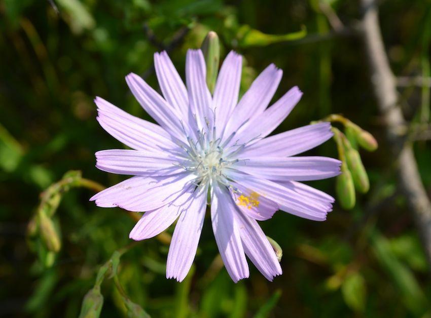 Laiteron de Plumier 2 - Cicerbita plumieri - Asteraceae