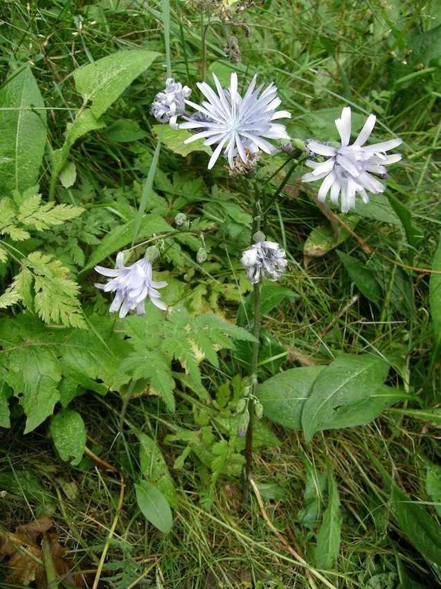 Laitue de Plumier - Cicerbita plumieri - Asteraceae