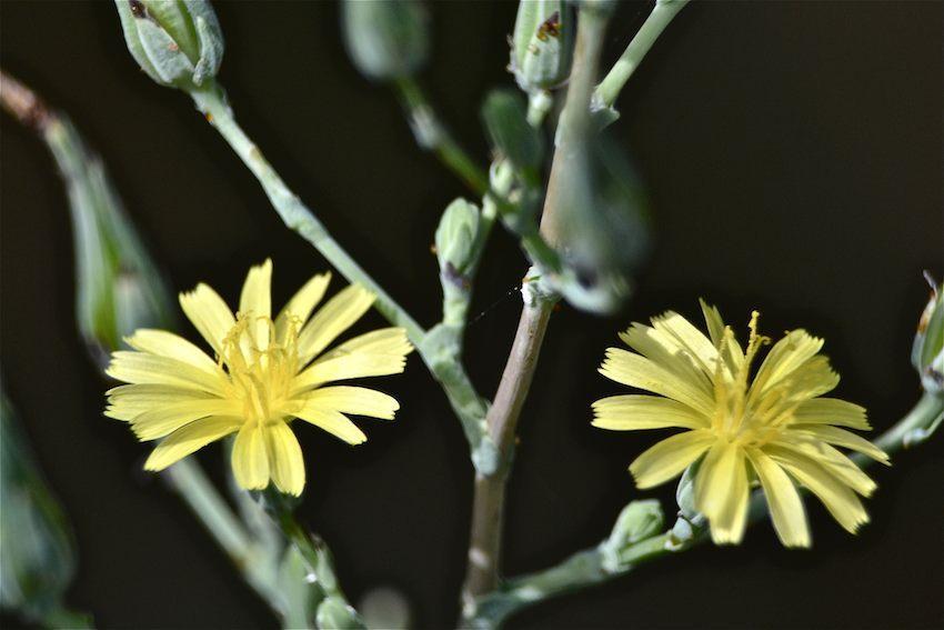 Laitue scariole - Lactuca seriola 1
