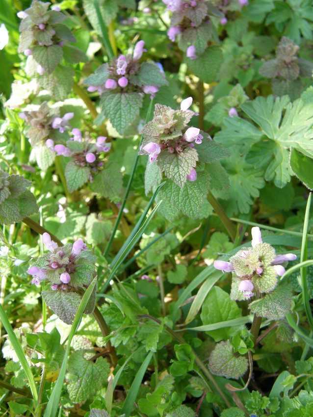 Lamier pourpre - Lamium purpureum