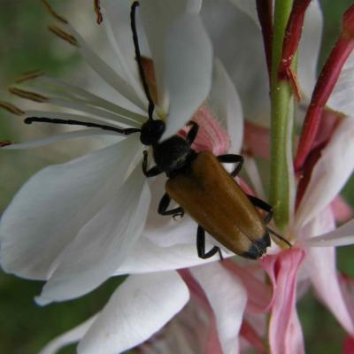 Lepture fauve - Corymbia fulva