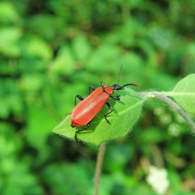 Lepture rouge femelle