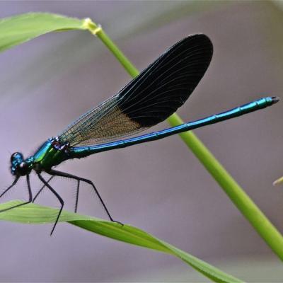 Libellule Calopterix bleu