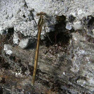 Libellule Lestes brun