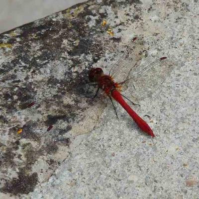 Libellule rouge - Sympetrum rouge