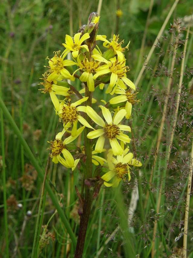 Ligulaire de Sibérie - Ligularia sibirica 2