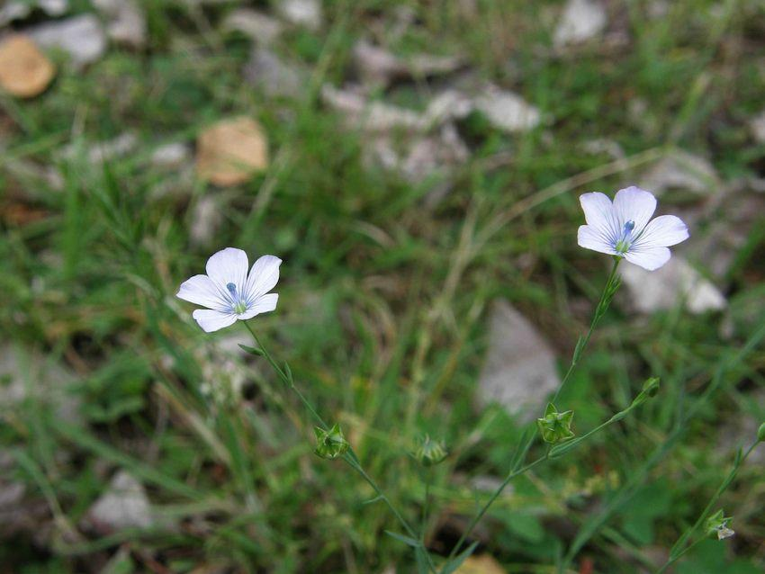 Lin bleu - Linum perenne