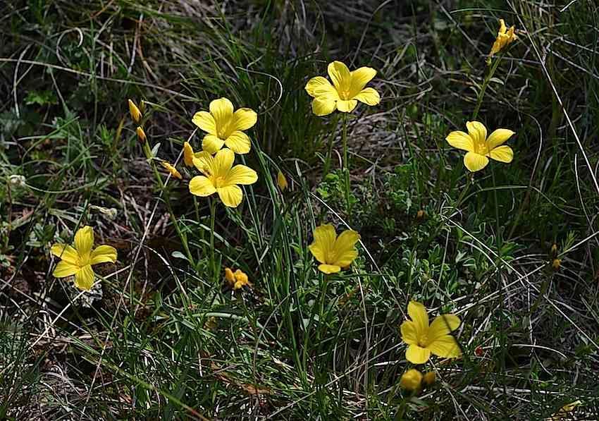 Lin campanulé - Linum campanulatum - Linaceae