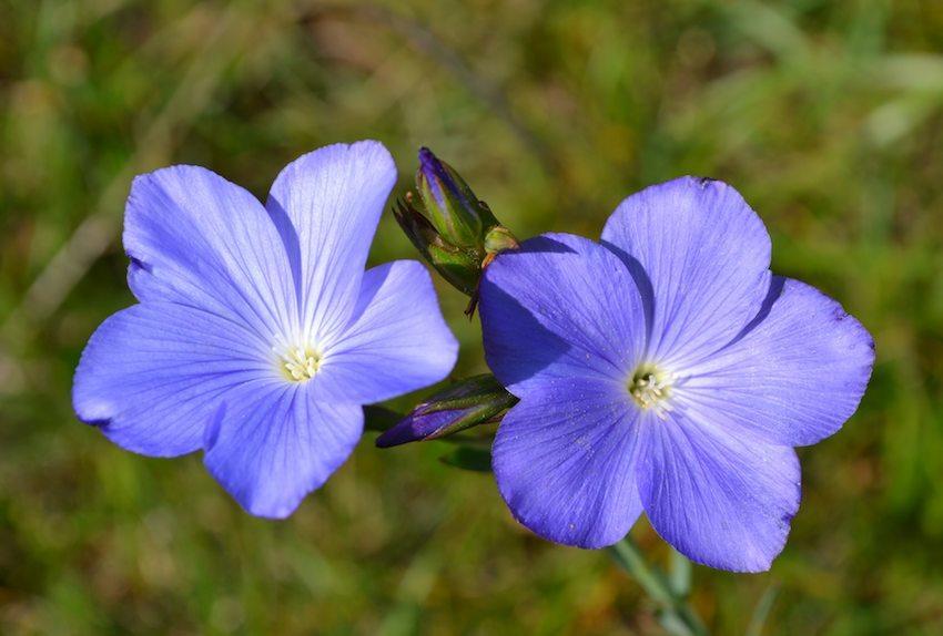 Lin de Narbonne - Linum narbonense 2 - Linaceae
