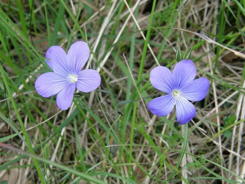 Lin de Narbonne - Linum narbonense - Linaceae